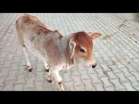 Shri Shri Banke Bihari ji ke aaj ke darshan evam aarti -03/12/20
